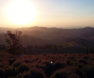 Pôr do Sol colore as plantações de lavanda de Cunha @meudestinoelogoali